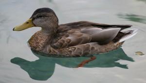 duck-811711_1280