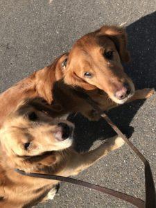 golden retrievers on a walk