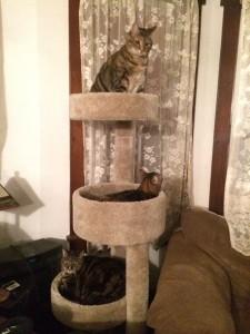 tabby cats in a cat tree
