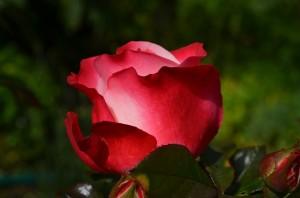 rose-386396_640